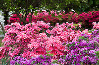 Hedge of pink flowering azalea shrubs, Sherwood Gardens Baltimore, Maryland