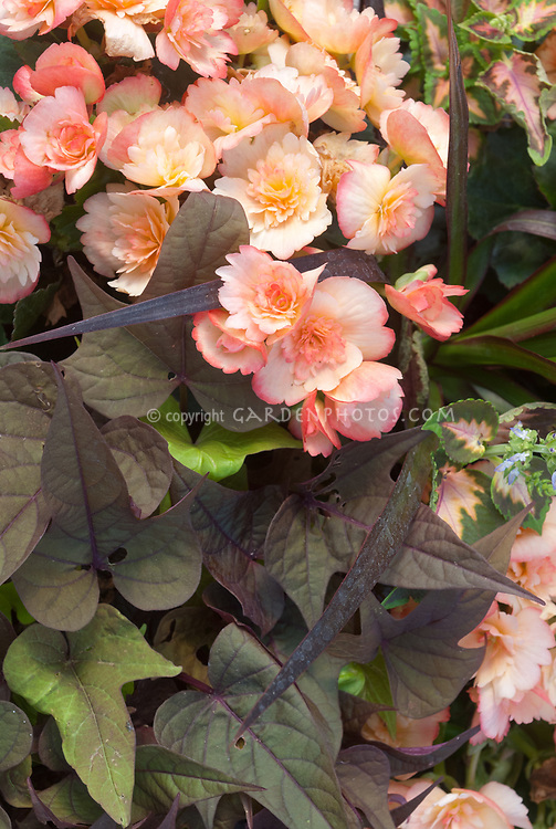 Begonia in salmon pink with Ipomoea in purple foliage with Vinca major