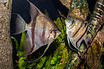 Leopold angelfish, 2 shot