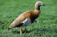 Graukopfgans, Graukopf-Gans, Chloephaga poliocephala, Ashy-headed Goose