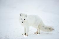 Arctic fox, Barter Island, Arctic National Wildlife Refuge, Alaska.