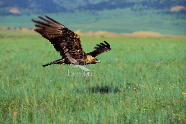 Golden Eagle (Aquila chrysaetos) flying out on the plains just east of the Rocky Mountain Front. Western U.S.