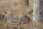 Leopard, Londolozi Private Reserve, South Africa