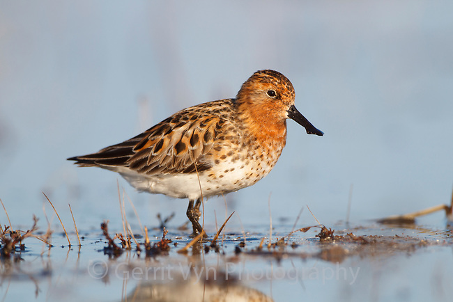 Spoon-billed Sandpiper foraging in a shallow tundra pond. Chukotka, Russia. June.