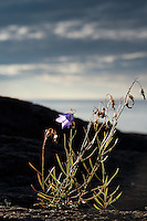 Bluebell clinging to the shoreline along Lake Superior