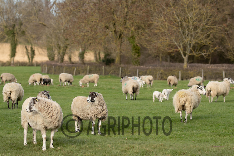 25-3--2021 Ewes with lambs<br /> ©Tim Scrivener Photographer 07850 303986<br />      ....Covering Agriculture In The UK....