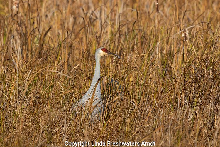 Crex Meadows Wildlife Area - Sandhill crane standing in a field.