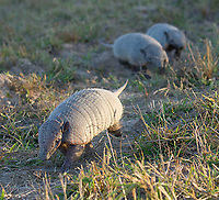 The six-banded armadillo is also known as the yellow armadillo.  We saw several of them chasing each other about during what must have been mating season.  Here, two males pursue a female.