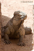 0627-1107  Rhinoceros Iguana, Haiti and Dominican Republic, Cyclura cornuta  © David Kuhn/Dwight Kuhn Photography