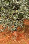 Olives et Oliviers. Filets tendus pour la recolte des olives. Parc national des Cinque Terre. Ligurie. Italie.