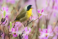 common yellowthroat, Geothlypis trichas, male, perched and singing on pinkish-purple rhodora flowers, Rhododendron canadense, Nova Scotia, Canada