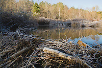 American Beaver (Castor canadensis), Frost covered beaver dam, Lillington, North Carolina, USA