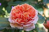 Gisela, FLOWERS, BLUMEN, FLORES, photos+++++,DTGK2488,#f#, EVERYDAY ,rose,roses