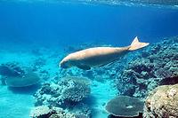 dugong (sea cow), Dugong dugon, with remoras (sharksuckers), Echeneis naucrates, Indo-Pacific Ocean