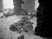 Striped Raphael Catfish under the jetty at Lord Howe Island, New South Wales