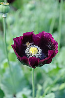 Papaver somniferum (Opium Poppies)