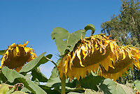 Helianthus annuus Feed the Birds sunflowers with seeds forming