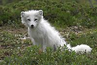 Polarfuchs, Eisfuchs, Polar-Fuchs, Eis-Fuchs, mit weißem Winterfell, Alopex lagopus, Arctic fox, Renard polaire, Weißfuchs, Blaufuchs