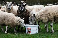 Photo: Richard Lane/Richard Lane Photography. Sheep feeding from buckets at Wilton, Wiltshire. 03/01/2013.