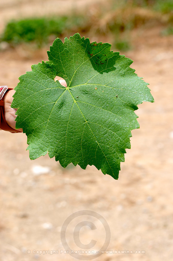 Vine leaf. Xinomavro. Kir-Yianni Winery, Yianakohori, Naoussa, Macedonia, Greece