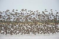 Large wintering flock of American Wigeon (Anas americana). Gray's Harbor, Washington. September.