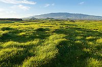 The green rolling hills of Kamuela backed by Mauna Kea, North Kohala, Big Island of Hawai'i.