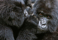 During our Rwanda visit, we did two gorilla treks in Parc National des Volcans. We spent time with the 13 Group and the Amahoro Group.