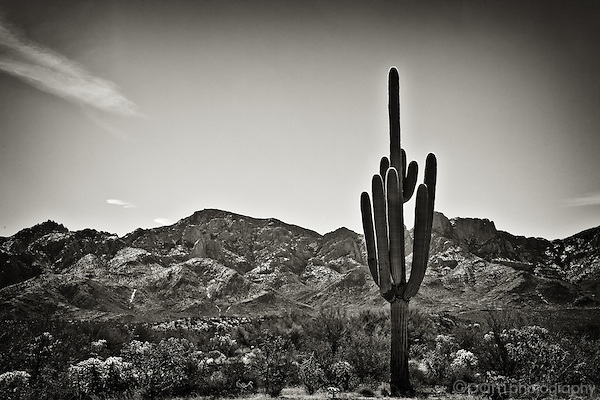 One desert saguaro with mountain range
