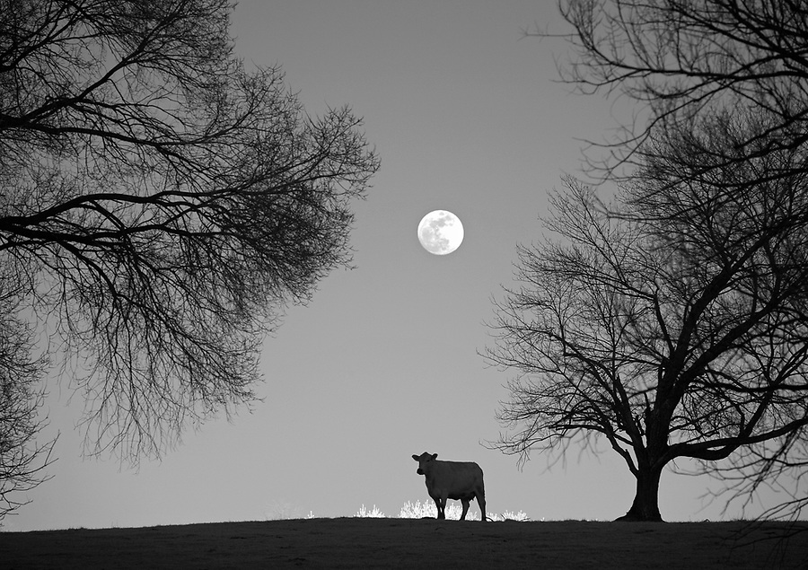 A cow stands under the rising moon Orange County, VA.