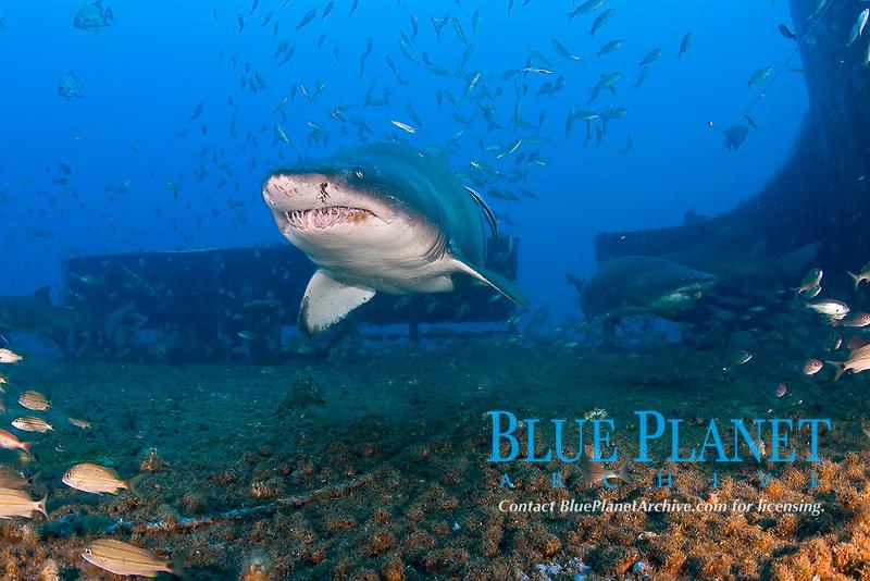 sand tiger shark, Carcharias taurus, Wreck of the Spar, Morehead City, North Carolina, Outer Banks, Atlantic Ocean, USA