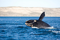 Breaching of a Southern right whale, Eubalaena australis , Conservation Dependant (IUCN), UNESCO Natural World Heritage Site, Golfo Nuevo, Peninsula Valdes, Chubut, Patagonia, Argentina, Atlantic Ocean