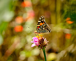 Painted Lady Butterfly. Image taken with a Fuji X-H1 camera and 80 mm f/2.8 macro lens + 1.4x teleconverter
