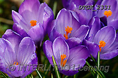 Gisela, FLOWERS, BLUMEN, FLORES, photos+++++,DTGK2331,#F#, EVERYDAY