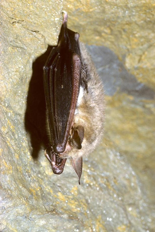 Vale vleermuis (Myotis myotisi) in winterslaap
