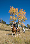 Couple in the great outdoors horseback riding on a crisp and cool fall morning amid aspen groves high in the Rocky Mountains, near Estes Park, Colorado, USA (MR #88)