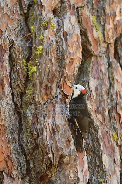 White-headed Woodpecker (Picoides albolarvatus) , adult male, Sequoia and Kings Canyon National Park, California, USA