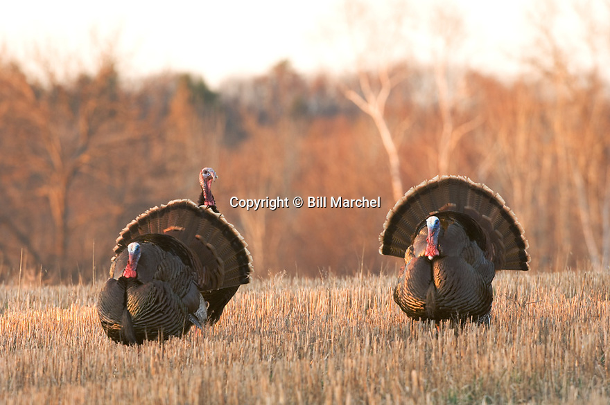 01225-082.01 Wild Turkey (DIGITAL) Three eastern toms are strutting in an oats stubble field during early spring.  Hunt, bird.  H3F1