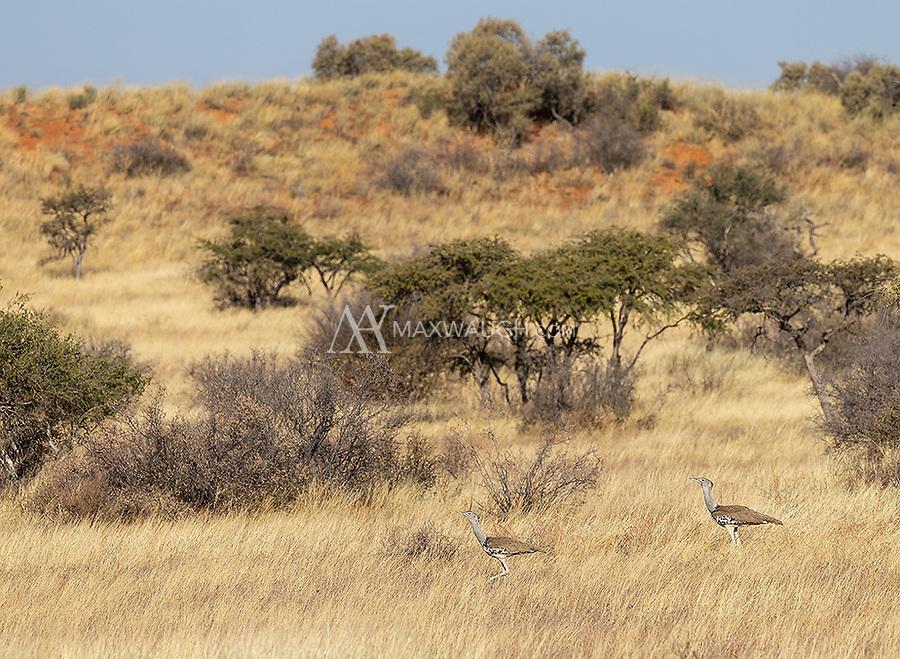 A pair of Kori Bustards marches across the Kalahari Desert.