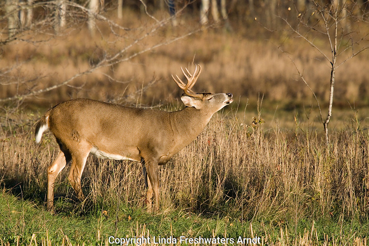 White-tailed buck (Odocoileus virginianus) picking up scents in the wind