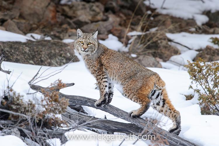 North American Bobcat (Lynx rufus). Madison River Valley, Yellowstone National Park, Wyoming, USA. January