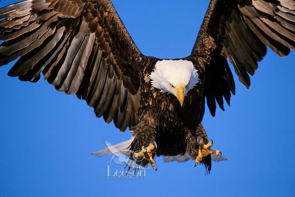 Bald Eagle (Haliaeetus leucocephalus) preparing to land.  Alaska.