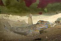 Gestreifter Leierfisch, Gewöhnlicher Leierfisch, Europäischer Leierfisch, Callionymus lyra, syn. Callionymus dracunculus, common dragonet