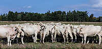 Herd of cows grazing in a farm field, Schaghticoke, New York, USA.