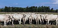 Herd of cows grazing in a farm field, Schaghticoke, New York, USA.