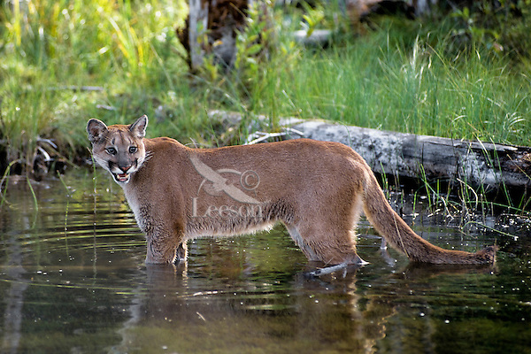 Mountain Lion or cougar (Puma concolor) along beaver pond.  Western U.S., June.
