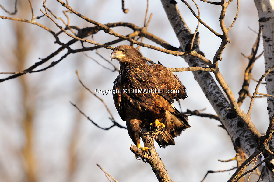 00370-017.02 Bald Eagle immature is in aspen tree.  Raptor, young, bird of prey.