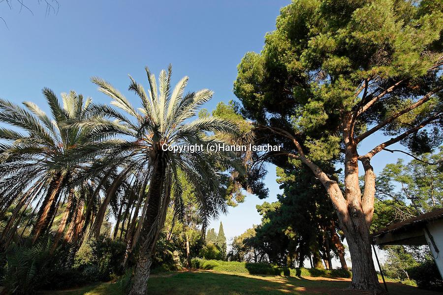 Israel, Sharon region. Stone Pine (Pinus Pinea) in Kfar Saba