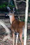 White-tailed deer doe walking away from camera, looking left, vertical.