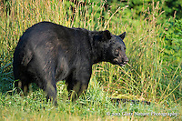 Aggressive adult male Black Bear (Ursus americanus) encourages a smaller, younger bear to steer clear.  Note the scratch on this bear's nose.