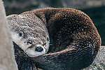 north american river otter, lontra canadensis, eyes partially openned sleeping curled in ball, new bedford, massachusetts